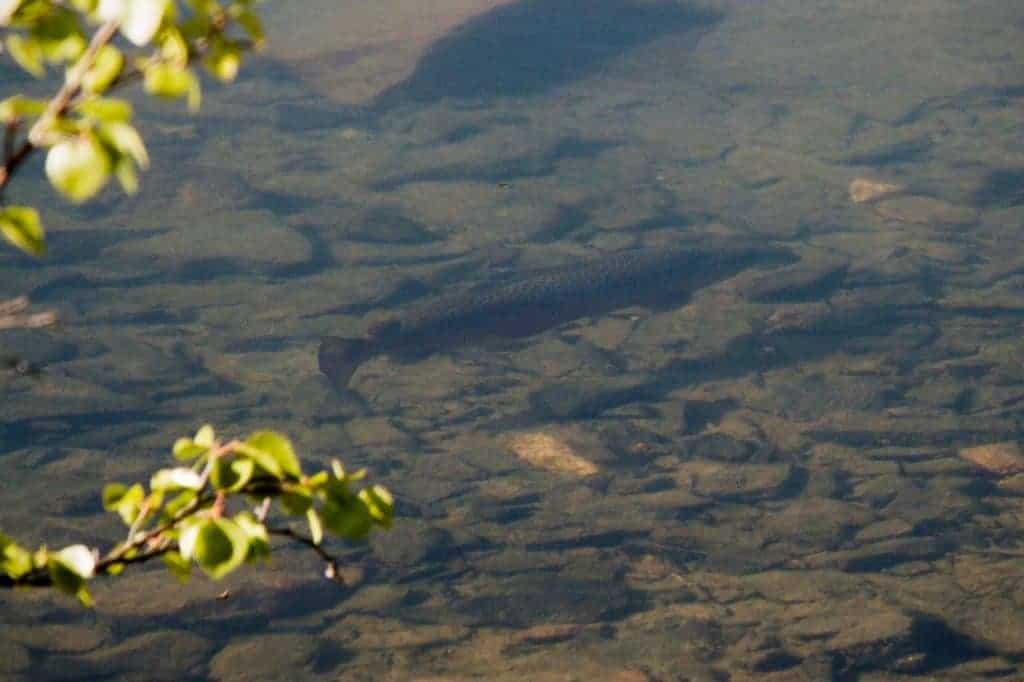 Ørret på Gammarus-jakt i krystallklart vann.